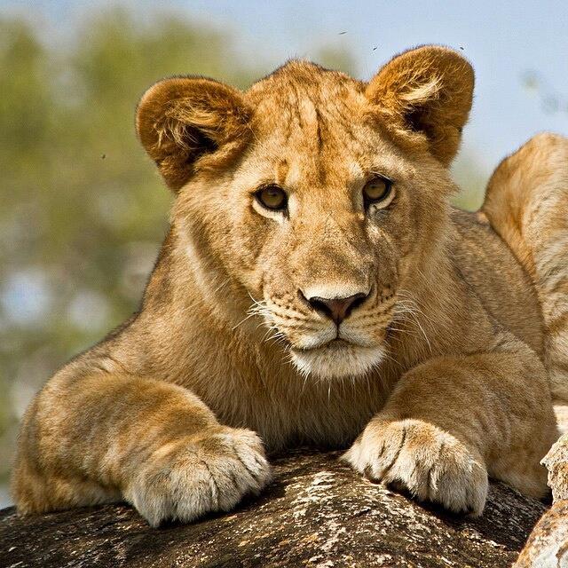 lioness_kimptonsafaris_okavango