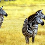 kimptonsafaris.com_zebras_tanzania