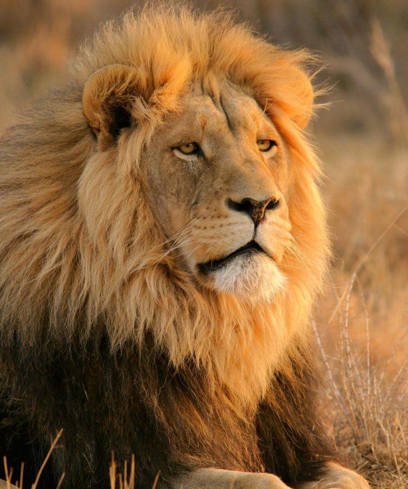 lion_kimpton_safaris
