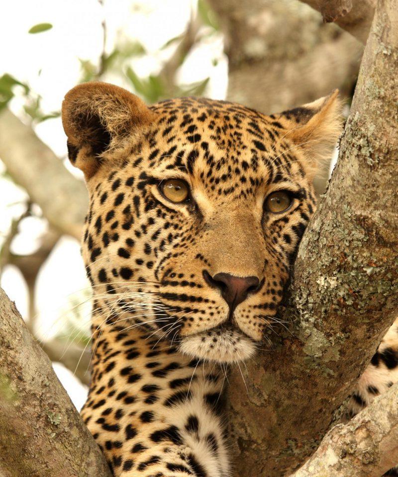 kimpton_safaris_leopard